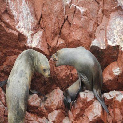 Морские котики в Бальетасе Перу