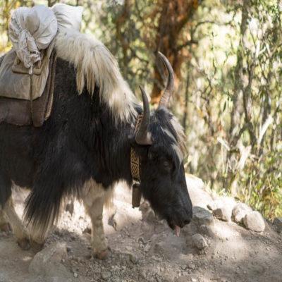 Непальский як
