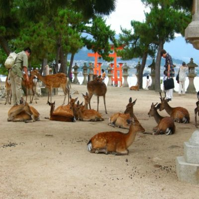 Олени на острове Миядзима Япония