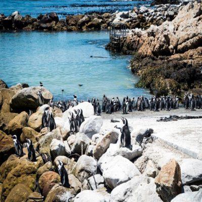 Африканские пингвины ЮАР