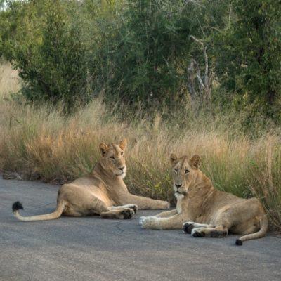Львы в Парке им Крюгера ЮАР