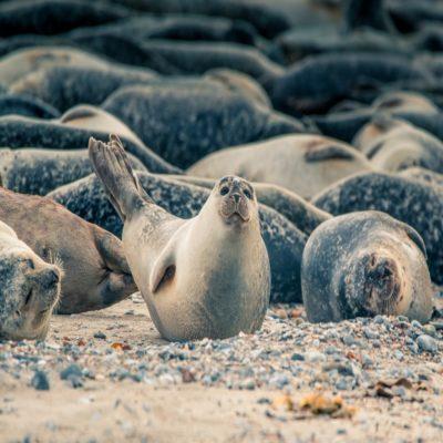Тюлени на острове Гельголанд Германия