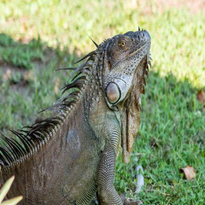 Игуана в Национальном парке Тортугеро Коста Рика