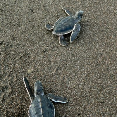 Черепашки в Национальном парке Тортугеро Коста Рика