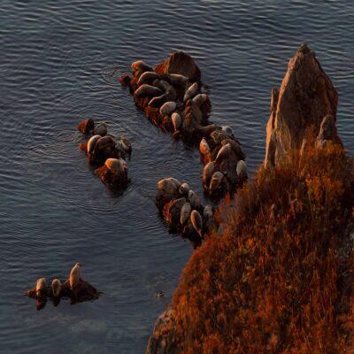 Лежбище тюленей в Сихотэ Алинском биосферном заповеднике Россия