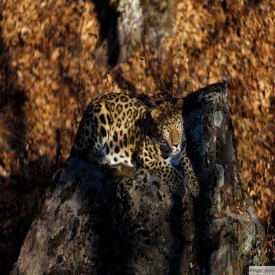 Леопард в Национальном парке «Земля леопарда» Россия