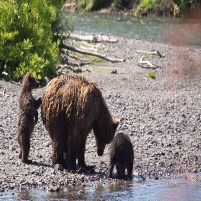 Медвежья семья на берегу озера Камчатка Россия