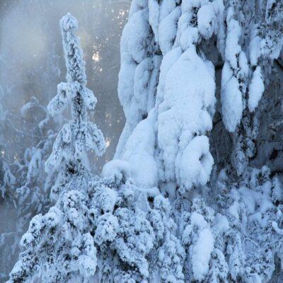 Снежные ели Россия