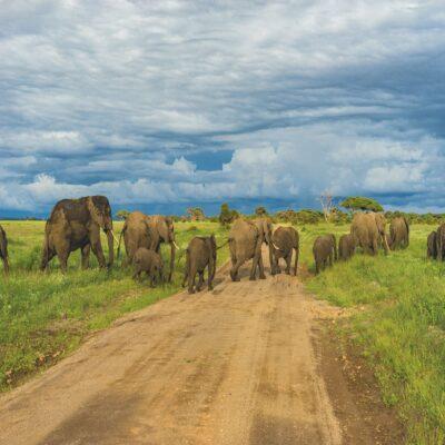 Слоны в парке Серенгети Танзания Килиманджаро