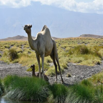 Верблюды на озере Натрон Танзания