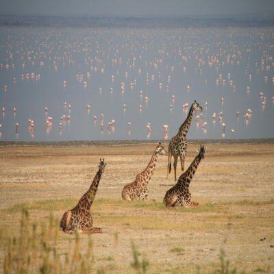 Жирафы и фламинго на озере Маньяра Танзания