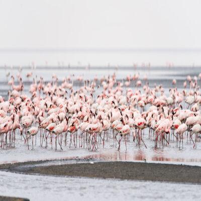 Море фламинго на озере Натрон Танзания