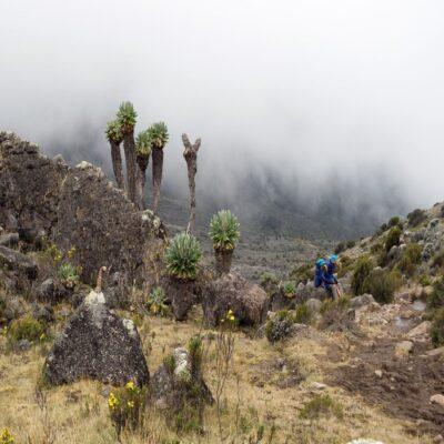 Причудливые розеточные деревья Килиманджаро Танзания