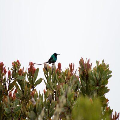 Солнечная колибри Килиманджаро Танзания