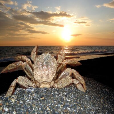 Камчатский краб Халактырский пляж Камчатка Россия