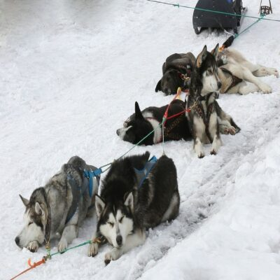 Собаки отдыхают Камчатка Россия