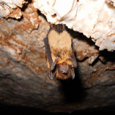 Спящая летучая мышь пещера Певческая эстрада Архангельская область «Голубино»