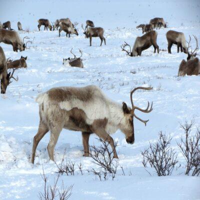 Стадо северных оленей