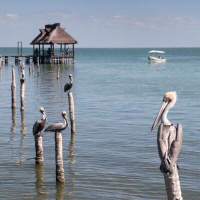 Пеликаны в Кампече Мексика