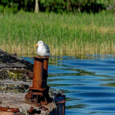 Чайка Онежское озеро Карелия