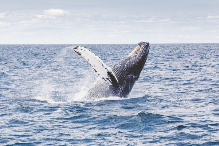 Фотоохота на китов на Кольском полуострове